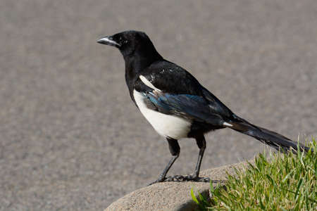 Black-billed magpie bird or pica hudsonia standing on concrete curb by patch of grass in parking lot Archivio Fotografico