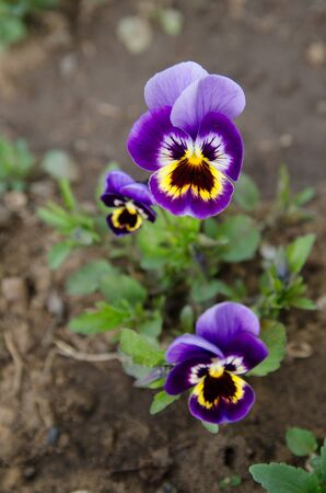 Flowers pansies on a plant