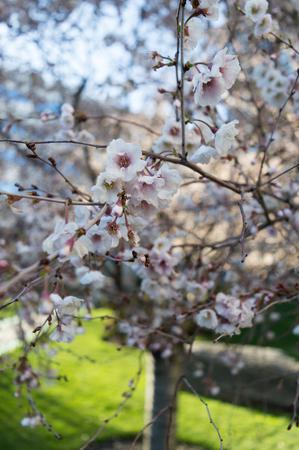 Sakura or cherry blossom flower tree full bloom sunlit.