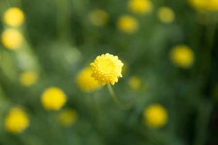 Yellow closeup tiny flower in the field