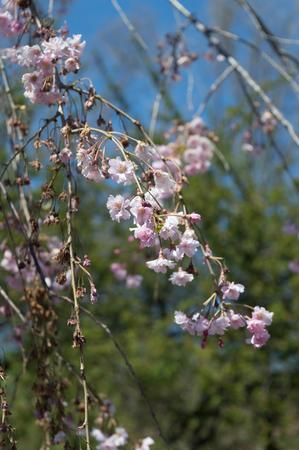 Sakura or cherry blossom flower full bloom branch
