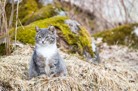 Gray and white partially tabby cute cat sitting on the ground in the old dry grass outdoors at spring cloudy day