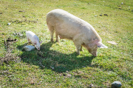 Cute piglet and dirty pig walking on green grass on sunny day in meadow