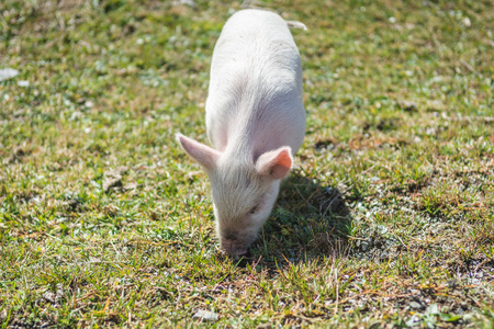 Cute piglet walking on green grass on sunny day in meadow
