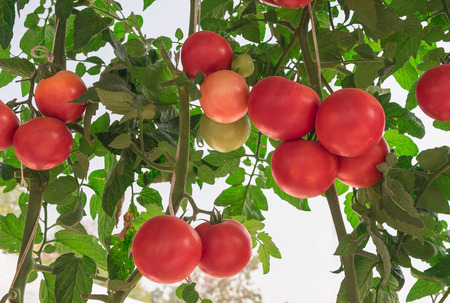 Ripe tomatoes  on tomato trees growing in greenhouse farm