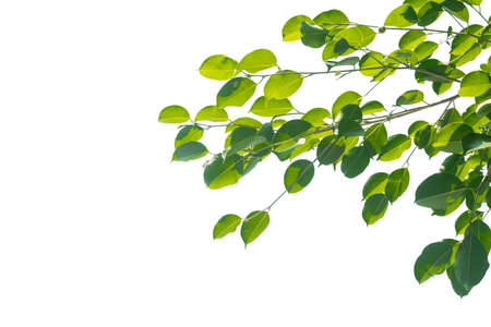 Green leaves on branch and fresh twig isolated on white