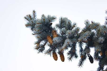 Pine tree, isolated background, natural texture