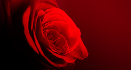single red rose: beautiful close up red rose on red wall Stock Photo