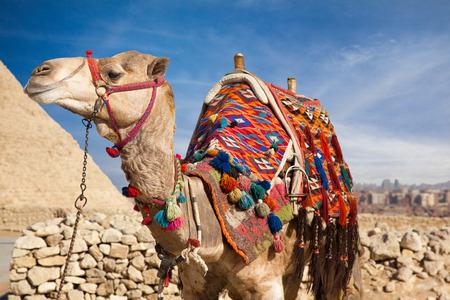 pyramid egypt: Camel in Egypt, on background Pyramid Stock Photo