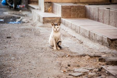 downcast: Street homeless cat, in Egypt