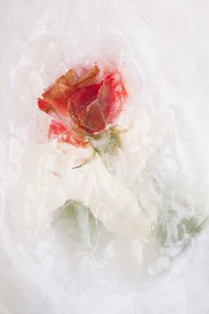 deep freeze: Frozen beautiful red rose flower, close up image