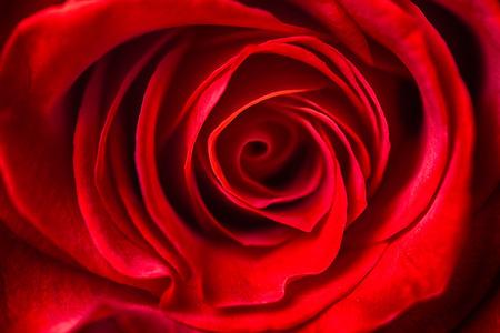 close up: beautiful close up red rose