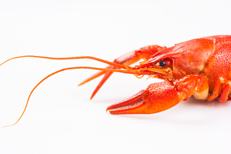 cancers: Red crayfish isolated on a white background Stock Photo