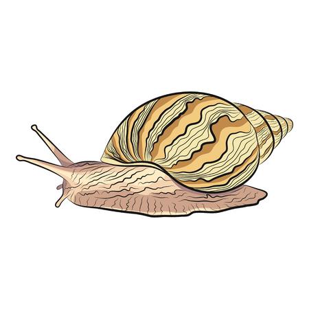 vector illustration of a hand drawn garden snail. EPS