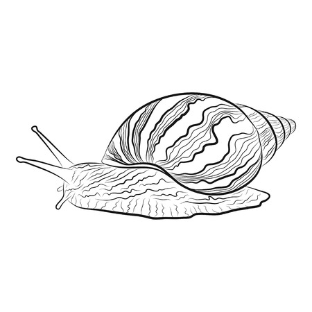slowness: vector illustration of a hand drawn garden snail. EPS