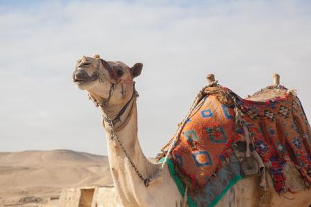 Camel Egypt Cairo - Giza