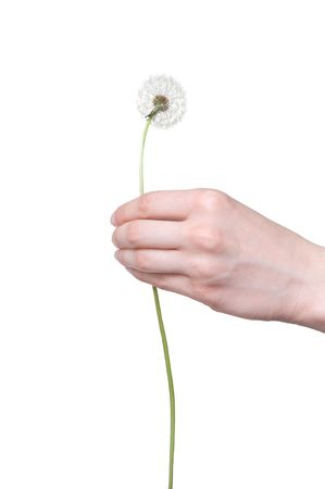 womans: dandelion in the womans hand Stock Photo