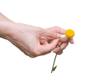 loves: loves or not loves me, plucking off the petals of a camomile Stock Photo