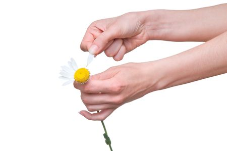 loves: loves or not loves me, plucking off the petals of a chamomile