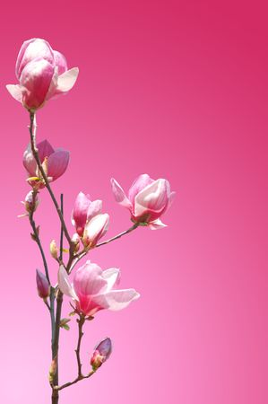 branch of pink flower magnolia for background photo