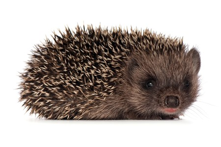 The small prickly hedgehog looks at me Stock Photo
