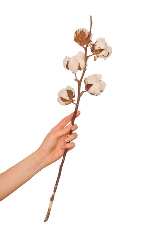 cotton crop: a branch of cotton in the womans hand