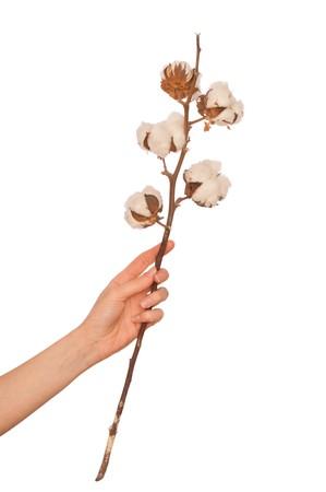 plant gossypium: un ramo di cotone in mano della donna  Archivio Fotografico