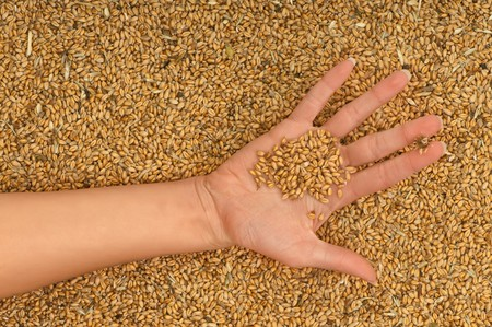 A handful of grains in the womans hand photo