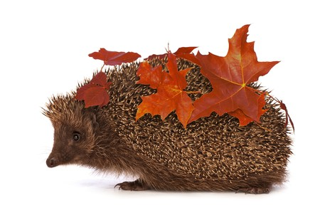 The hedgehog with red leafs in motion hastens to home