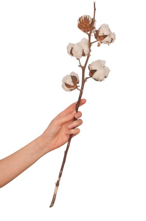 a branch of cotton in the womans hand photo
