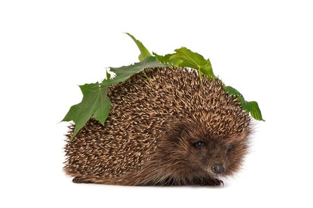 The hedgehog with green leafs in motion hastens to home Stock Photo