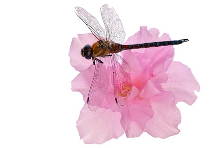 small dragonfly sitting on the pink flower photo