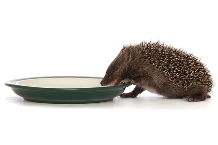 small grey prickly hedgehog gathering to drink milk from the plate Stock Photo - 8657992