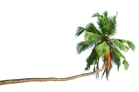 The bent coconut tree with green coconuts Stock Photo - 12022158