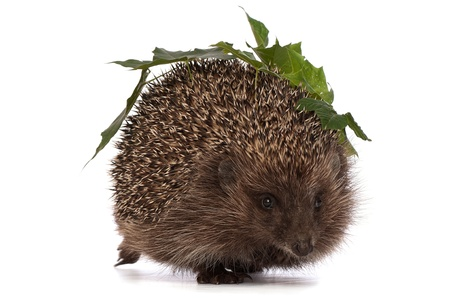 hastens: The hedgehog with green leafs in motion hastens to home Stock Photo