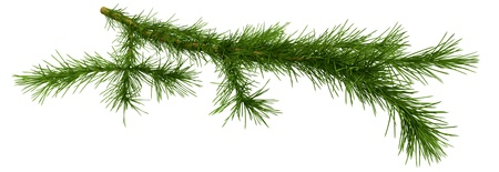 Christmas tree fir branch on white background photo