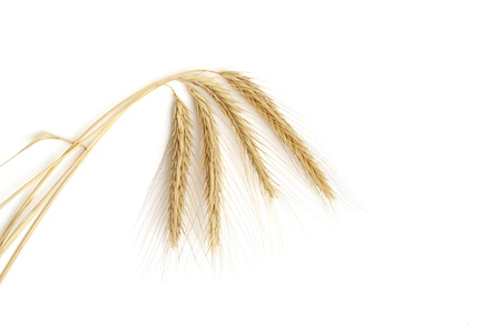 bunch of golden wheat isolated on white background photo