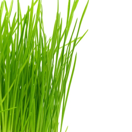 Isolated green grass on a white background photo