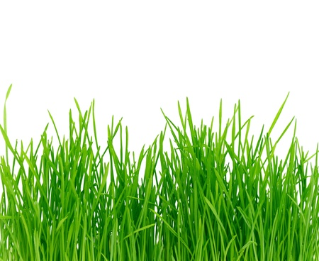grass field: Isolated green grass on a white background