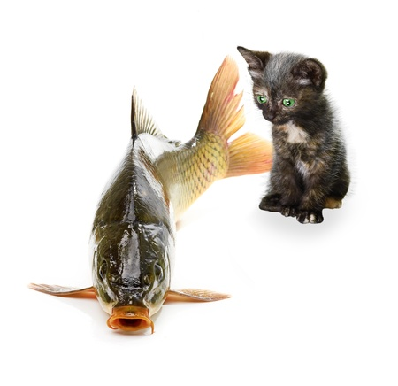 Home cat and a carp fish isolated Stock Photo - 15279976