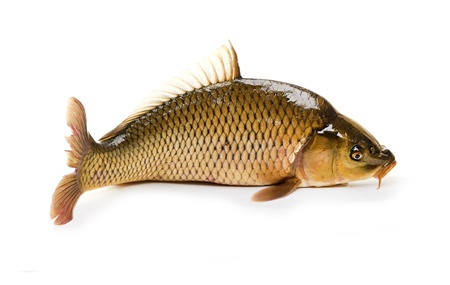 Carp has tasty dietary meat  Fishing carp great pleasure  Stock Photo