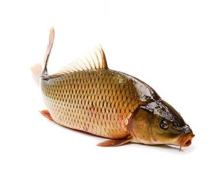 carp: Carp has tasty dietary meat  Fishing carp great pleasure  Stock Photo