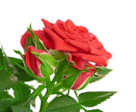 Red Rose in the flower pot isolated on white background photo