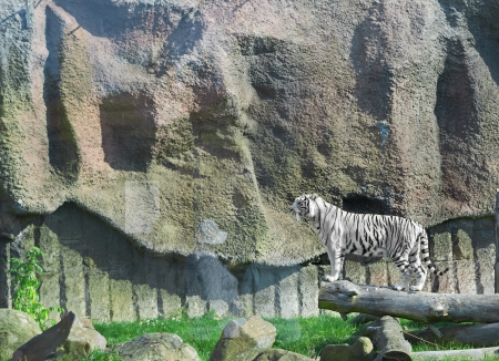 WHITE TIGER on a wood in zoo Stock Photo - 17551631