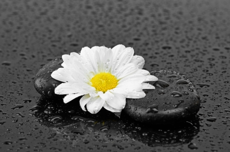 black stones and white flower with water drops Stock Photo - 22209669
