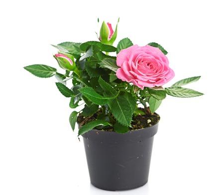 植木鉢にピンクのバラの花束。