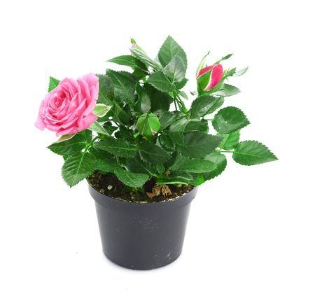 Bunch of pink roses in flowerpot. photo