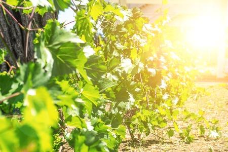 chardonnay: chardonnay Wine grapes in vineyard raw ready for harvest