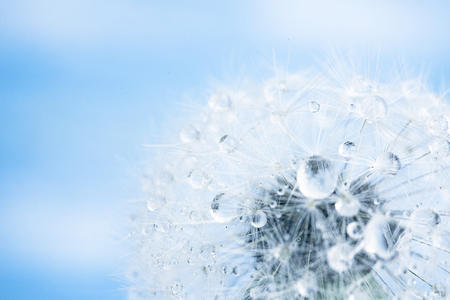 blue dandelion: dandelion macro