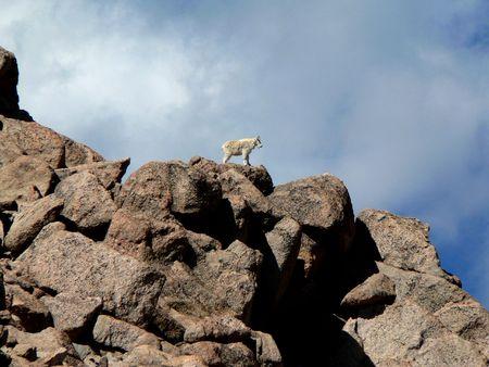 mount evans: Mountain Goat, Mount Evans, Colorado Stock Photo